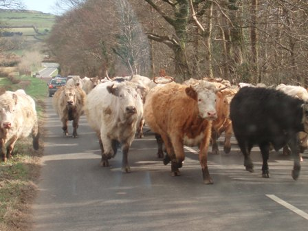 Bt cattle 2