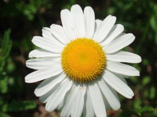 Bh daisy
