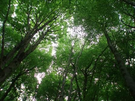 Fw treetops