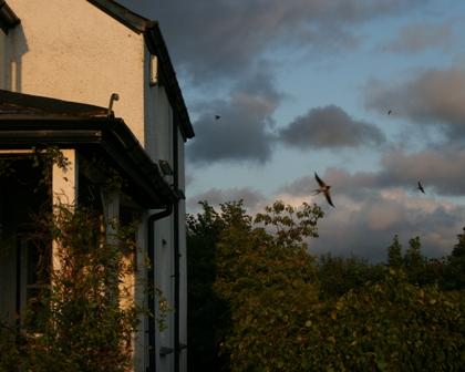 Swallows flt 1