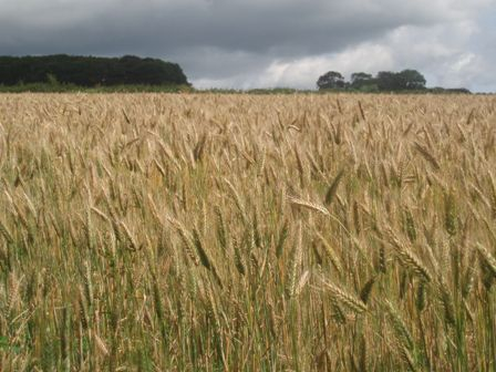 Lia wheat field