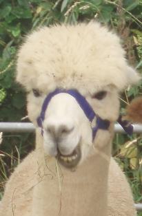 Fibrefest alpaca