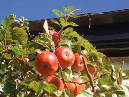Rake - apples