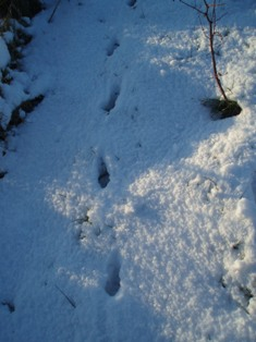 Snowpics fox