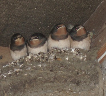 Swallows fledging 1