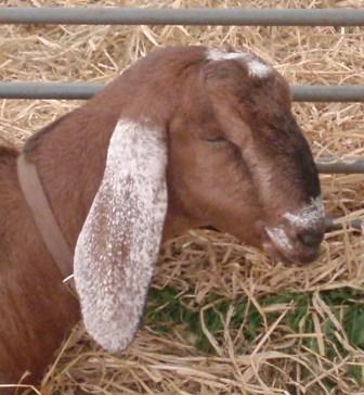 Okey show goat