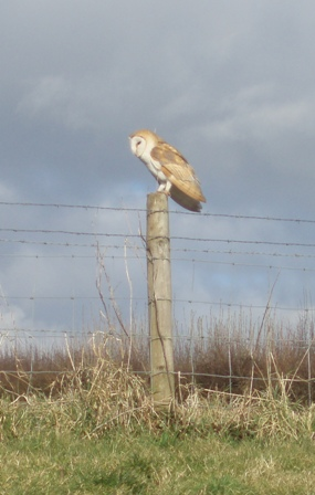 Barn owl ed