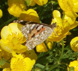 Tbi painted lady