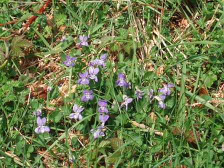 April wlk violets