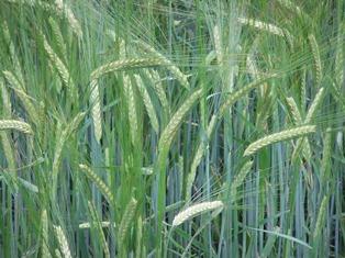 Pe11 friday wheat 2