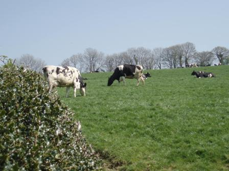 April wlk cows 2