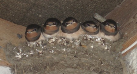 Swallows fledge 3