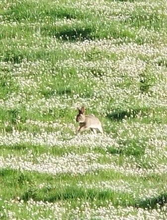 July rabbit
