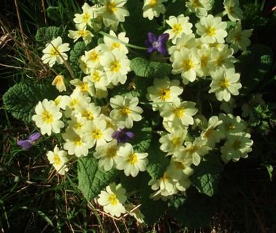 Easter 11 primroses