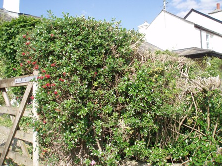 Lazarus hedge