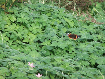 Butterfly red admiral 3