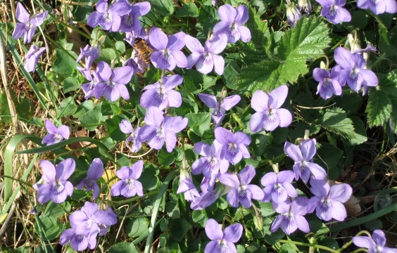 Violets where they are supposed to be..