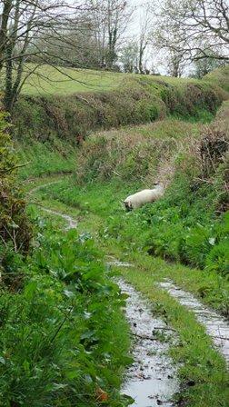 pretty baa lambs