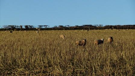 Harbs sheep