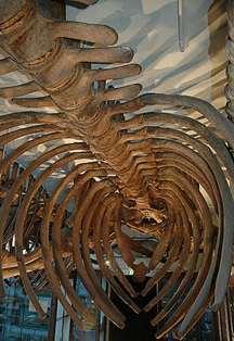 The Hvalsalen, Bergen Natural History Museum