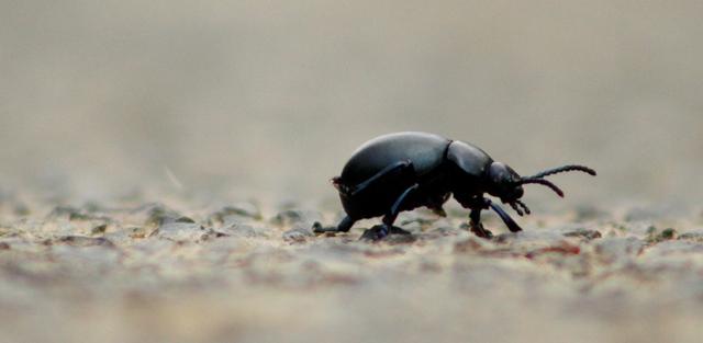 Alexander beetle...