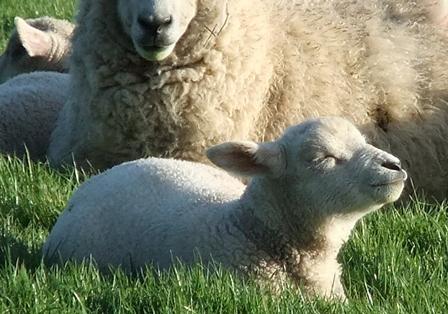 Nt lamb