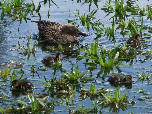 Cadhay ducklings 3