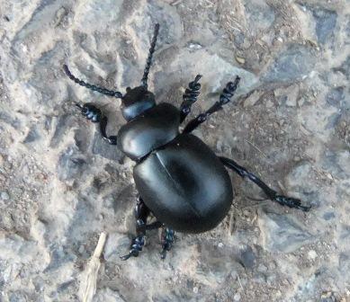 Alexander beetle..