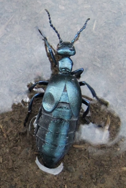Oil beetle...we think