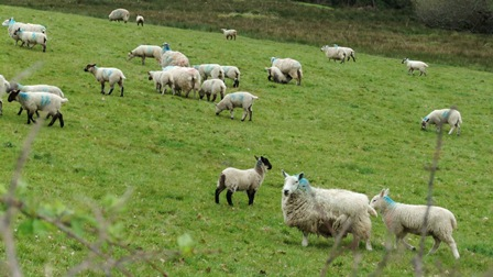 mothers of the pretty baa lambs