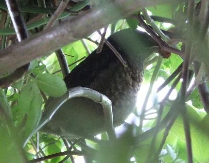 Fledging blackbird