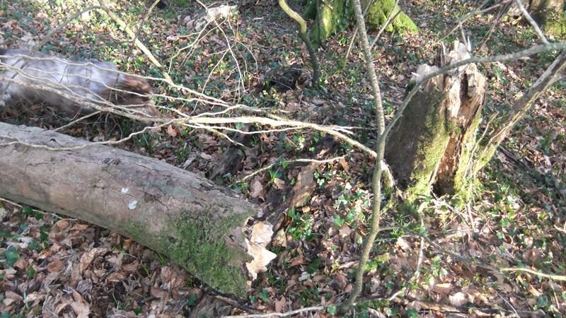Beechwood february 6 13 fallen tree