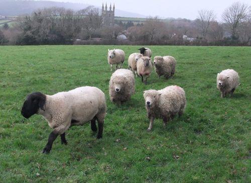 Galloping sheep