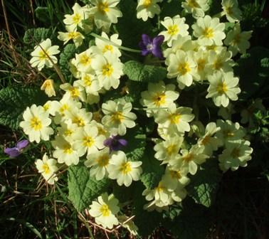 Dgr primroses - violets