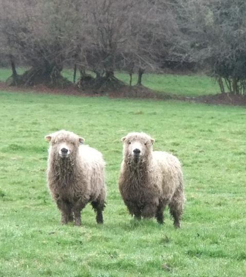 Mud walk sheep