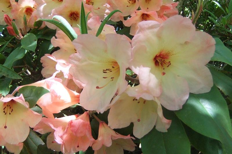 Tgh rhododendron 'Vanessa Pastel'