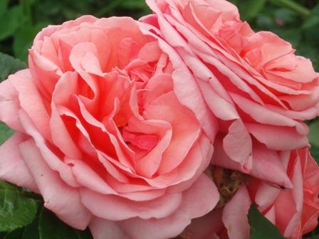 Cs roses