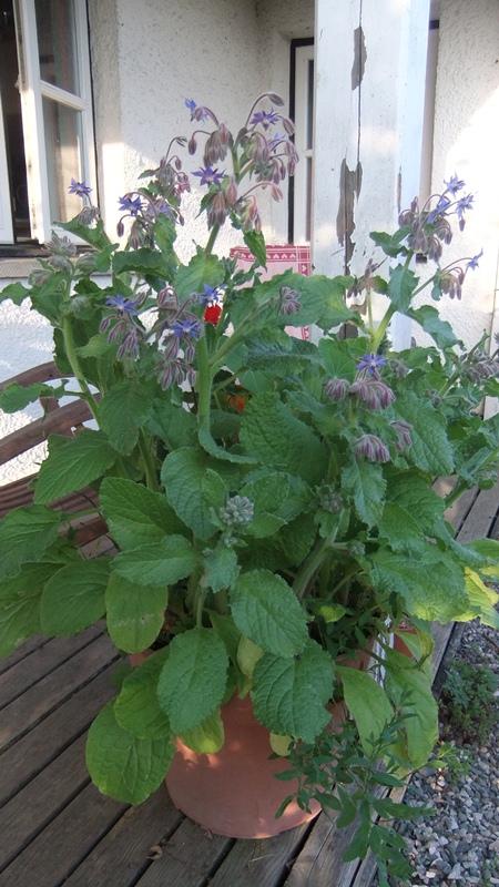 July 13 garden borage