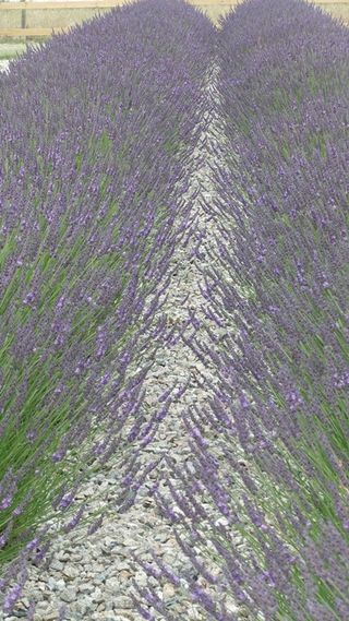 Cheristow Lavender ...