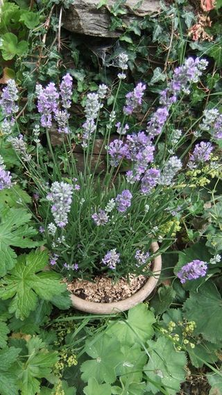 Lavender farm plant