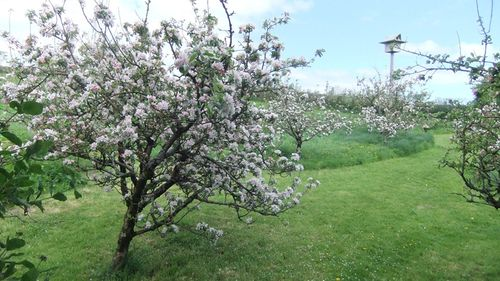 Apple blossom time...