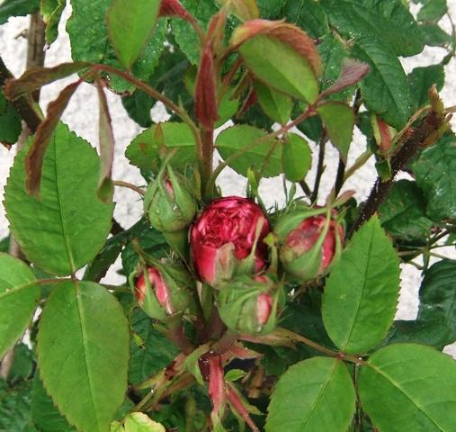 June 13 roses jc 2