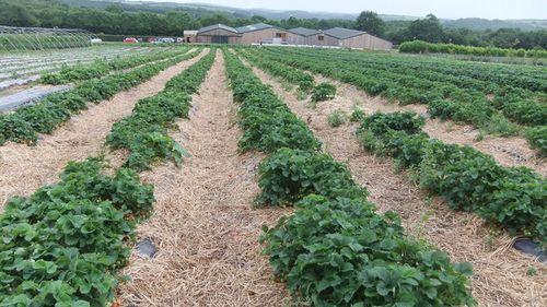The Strawberry Fields