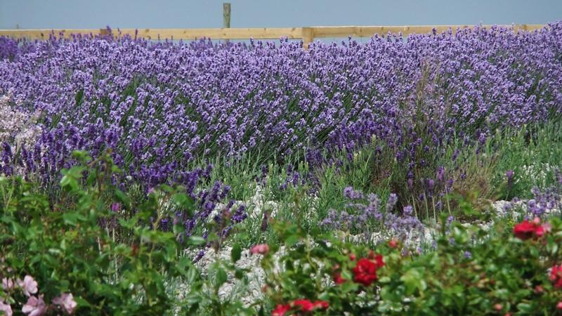 Lavender farm +