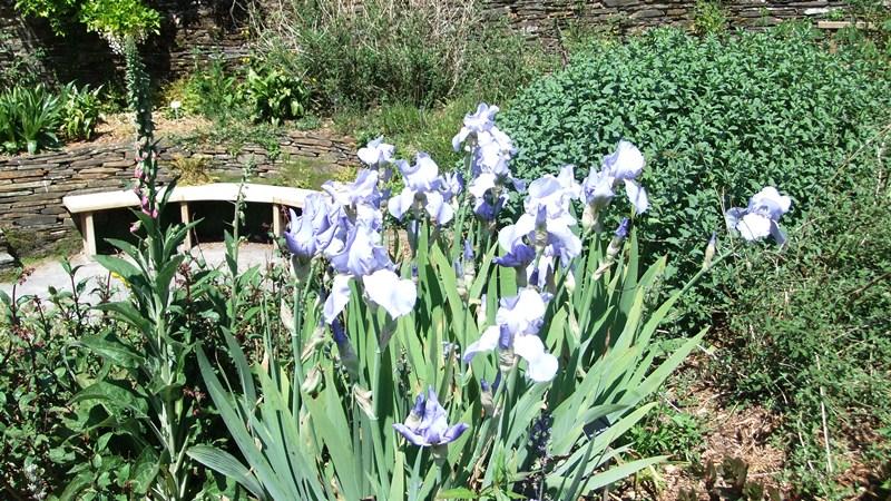 Tgh irises