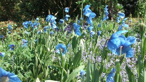 Meconopsis ~ The Garden House, Buckland Monachorum