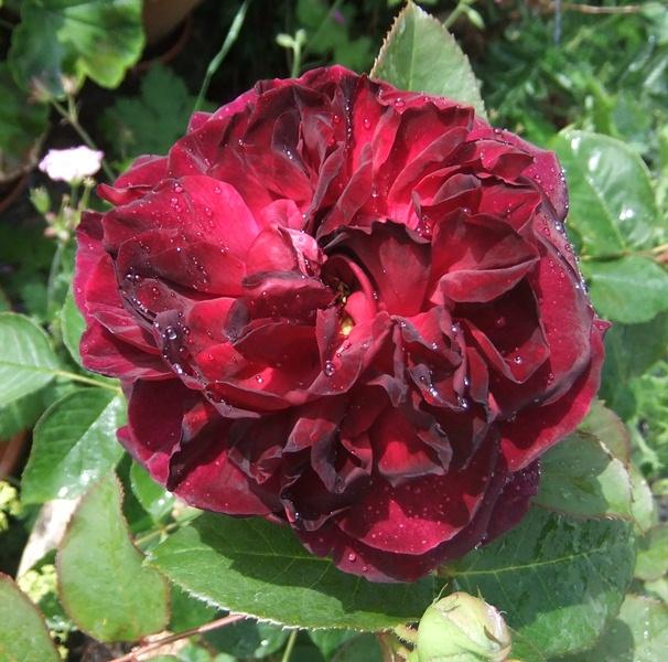 Gj munstead rose