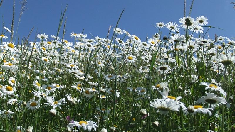July garden daisies