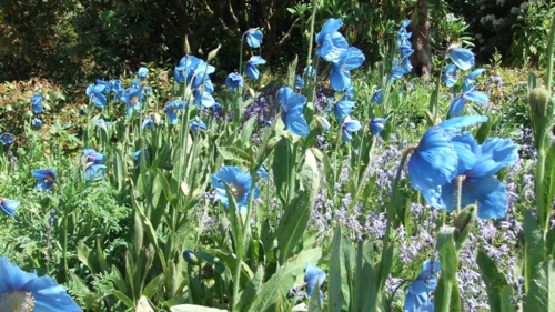 Meconopsis at The Garden House 2013