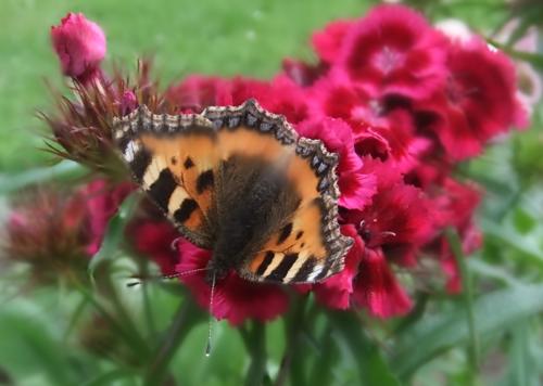 Higgledy butterfly